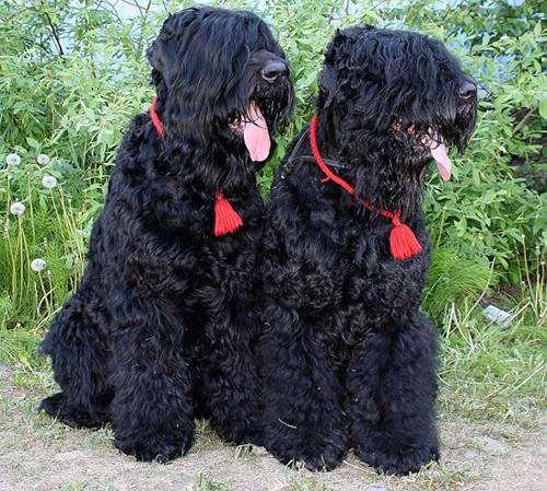 Русские черные терьеры, изображение породы собак фото собаки