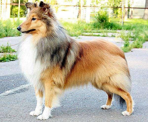 Шелти, фото породы собак собаки фотография