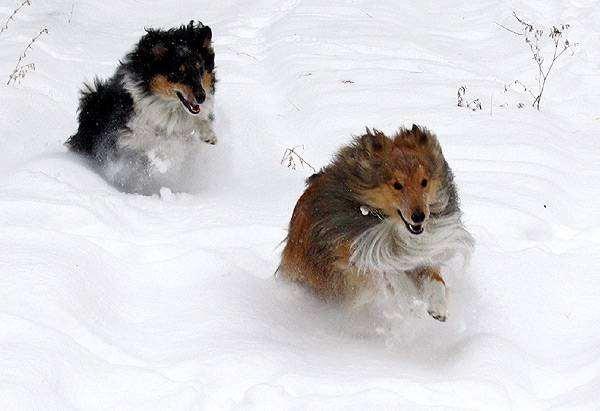 Шелти, шетландская овчарка, фото породы собак собаки изображение