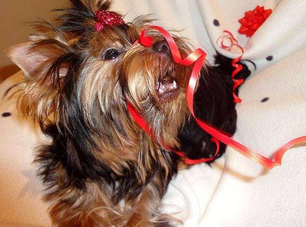 Йоркширский терьер, фото породы собак собаки фотография