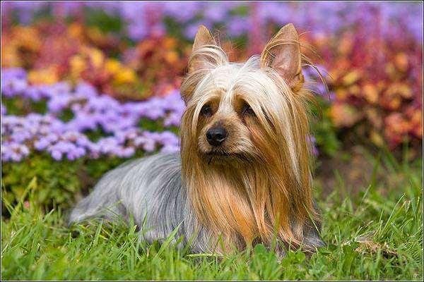 Австралийский шелковистый терьер, фото породы собак фотография