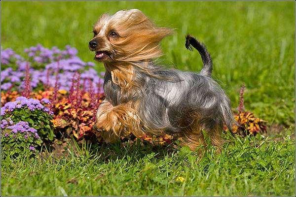 Австралийский шелковистый терьер, или силки-терьер, фото собаки картинка породы собак