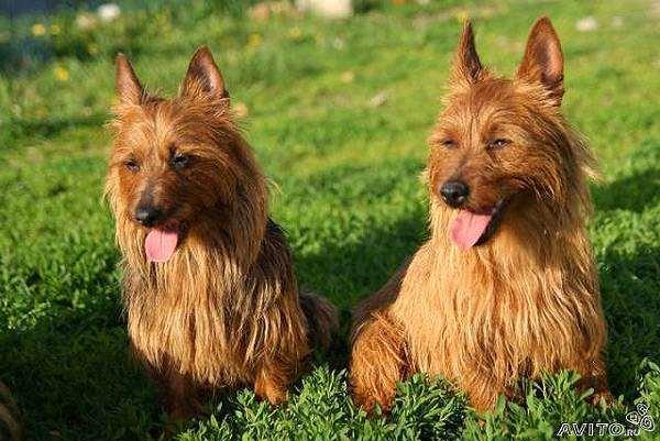 Австралийский терьер, фото породы собак фотография собаки