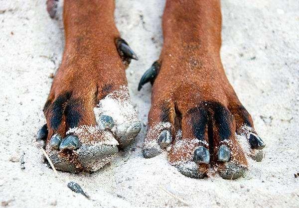 Передние лапы собаки, фото фотография