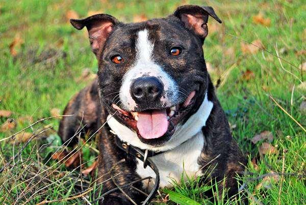 Стаффордширский бультерьер, фото породы собак собаки фотография