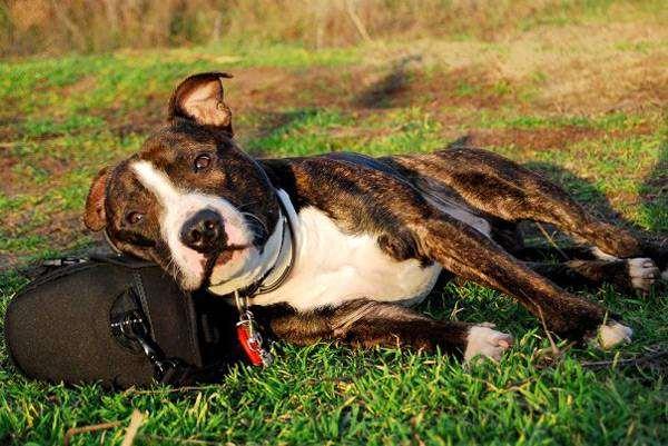 Стаффордширский бультерьер, породы собак фотография картинка собаки