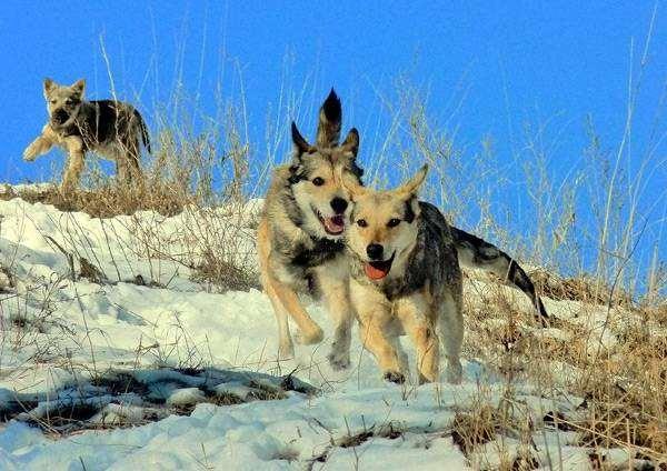 Бегущие собаки, фото происхождение собак фотография