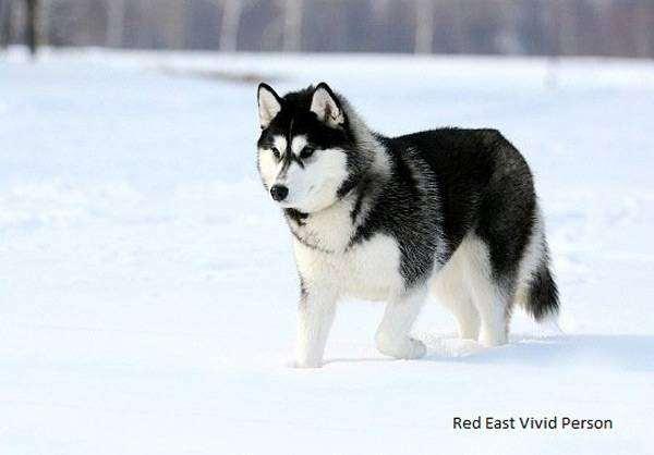 Сибирский хаски, фото картинка породы собак