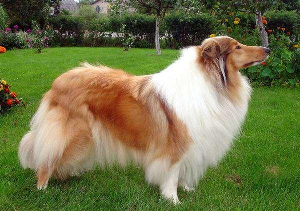 Колли, фото породы собак фотография