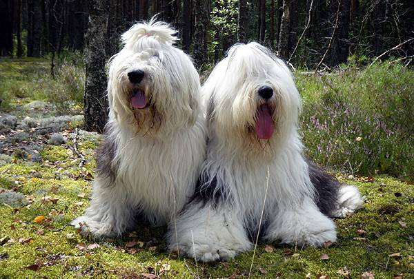 Бобтейлы, фото породы собак фотография собаки