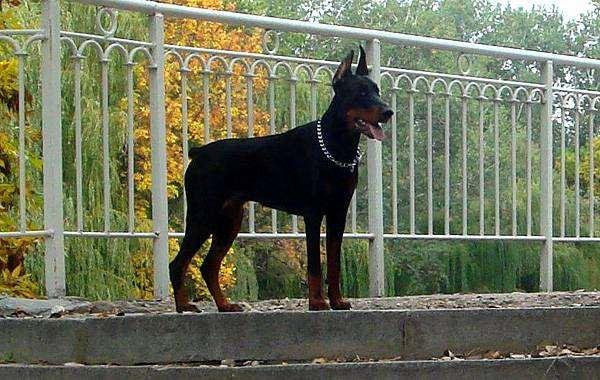 Доберман, собаки фото породы собак фотография