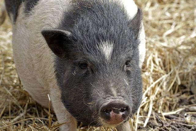 Мини-пиг, минипиг, фото фотография свиньи картинка