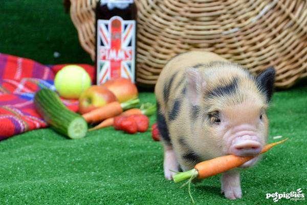 Поросенок карликовой свинки, мини-пиг, фото фотография