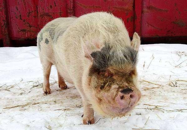 Хряк карликовой свиньи, мини-пиг, фото фотография картинка