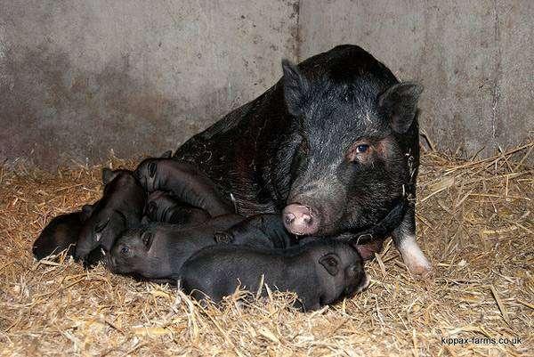 Свиноматка мини-пига (карликовая свинья) с поросятами, фото фотография
