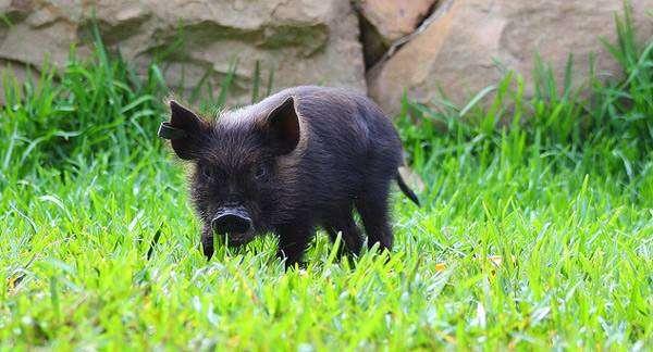 Поросенок карликовой свиньи, мини-пиг, фото фотогарфия картинка