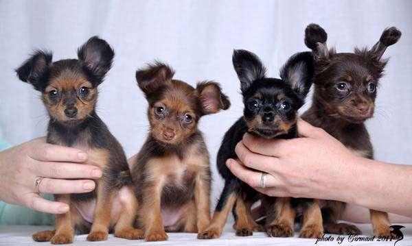 Динношерстные щенки той-терьера, фото породы собаки картинка