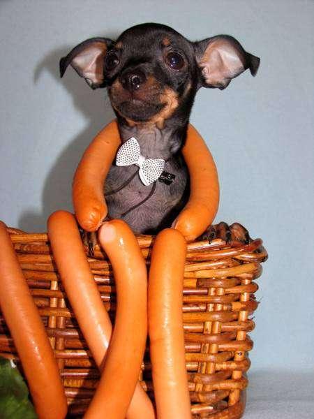 Щенок той-терьера, фото породы собаки фотография