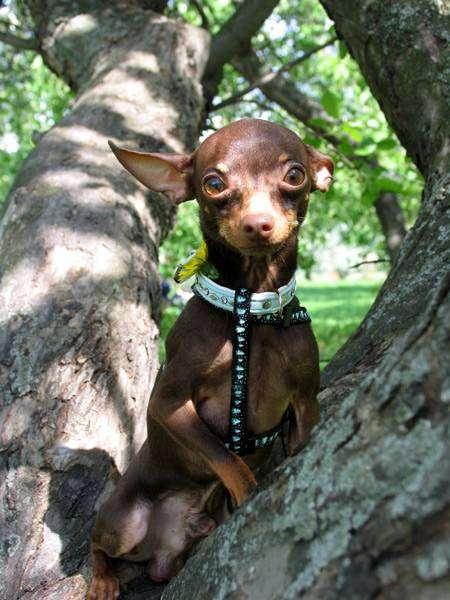 Той-терьер, фото породы собаки изображение