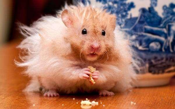 Длинношерстный (ангорский) хомячок, грызуны фото фотография картинка