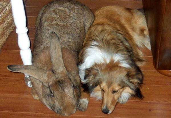 Кролик породы Бельгийский великан, фото фотография зайцы