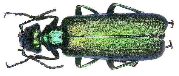 Шпанская мушка (Lytta vesicatoria), фото насекомые фотография