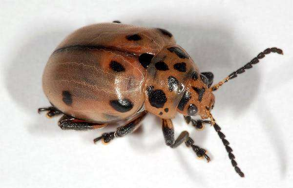 Diamphidia nigroornata, фото насекомые фотография