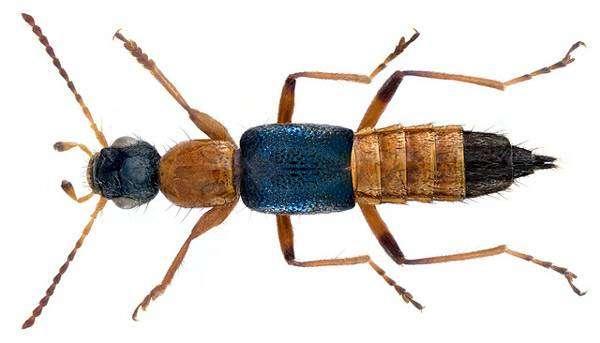 Жук стафилинид (Paederus fuscipes), фото насекомые фотография