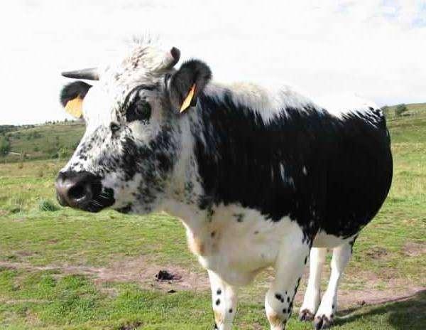 Истобенская порода коров, фото