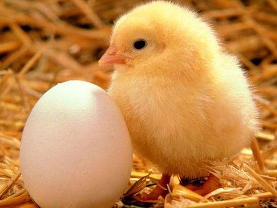 Яйцо и  цыпленок, фото фотография куры