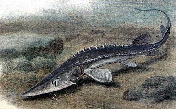 Сырдарьинский лжелопатонос (Pseudoscaphirhynchus fedtschenkoi), рисунок картинка осетровые рыбы