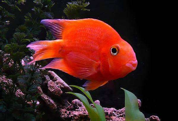 фото рыбы еллоу