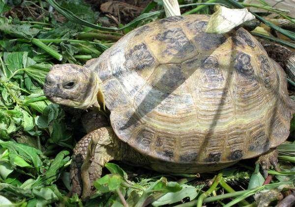 Среднеазиатская черепаха (Agrionemys horsfieldii), фото пресмыкающиеся фотография