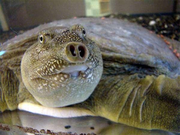 Трионикс китайский (Pelodiscus sinensis), фото рептилии фотография картинка