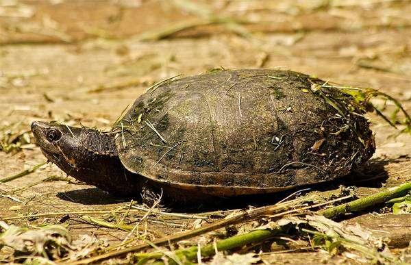 Обыкновенная мускусная черепаха (Sternotherus odoratus), фото пресмыкающиеся картинка
