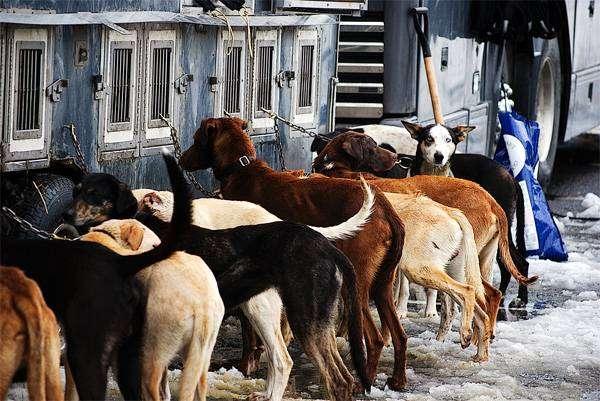 Еврохаунды, фото породы ездовых собак фотография