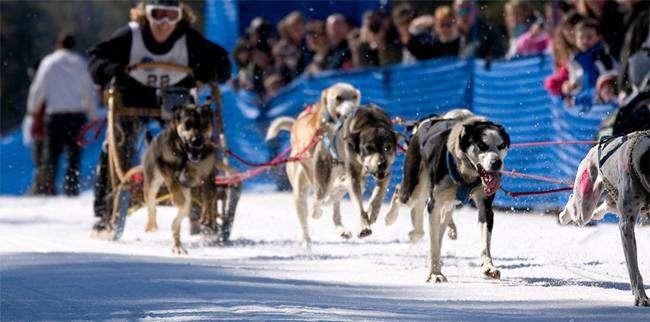 Еврохаунды в собачьей упряжке на гонках, фото породы собаки фотография