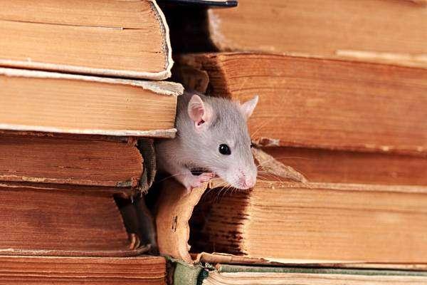 Крыса в библиотеке, фото грызуны фотография картинка