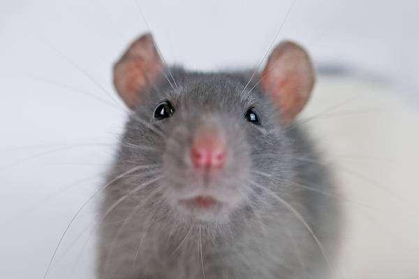 Серая декоративная крыса, фото грызуны фотография картинка
