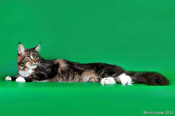 Мейн-кун, фото фотография картинка
