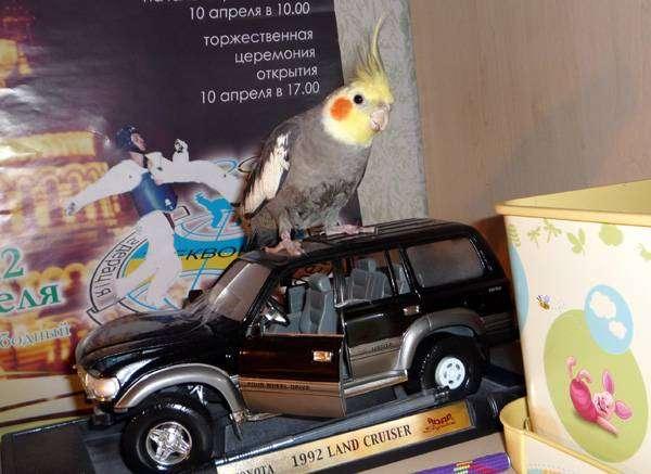 Корелла, попугай нимфа, фото птицы фотография картинка