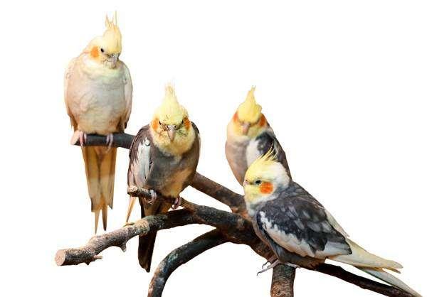 Кореллы, астралийские попугаи, нимфы, кареллы, фото птицы фотография