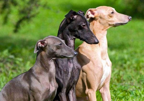 Левретка, итальянская борзая, фото породы собак фотография