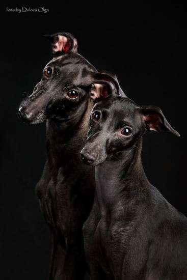 Левретки, фото породы гончих собак фотография картинка