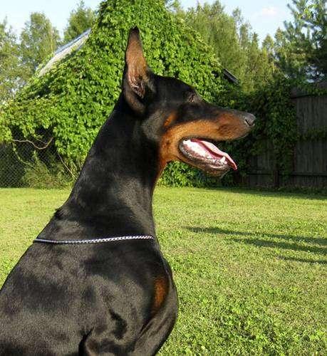 Доберман, фото породы собаки фотография картинка
