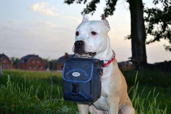 Стаффорд, фото породы собаки фотография