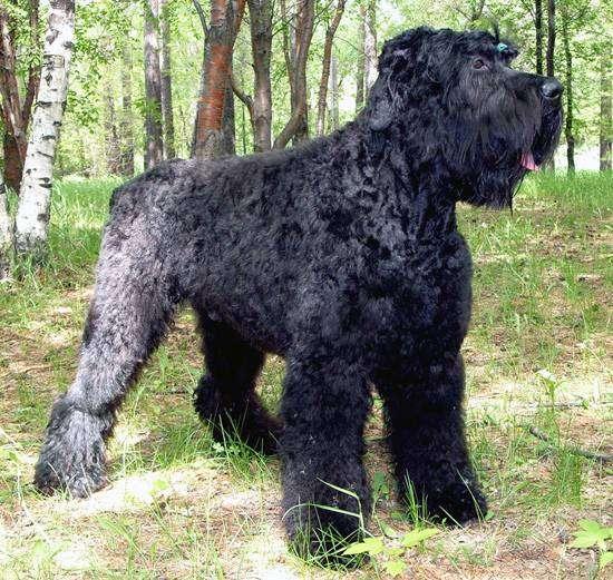 Черный терьер, фото породы служебных собак фотография картинка