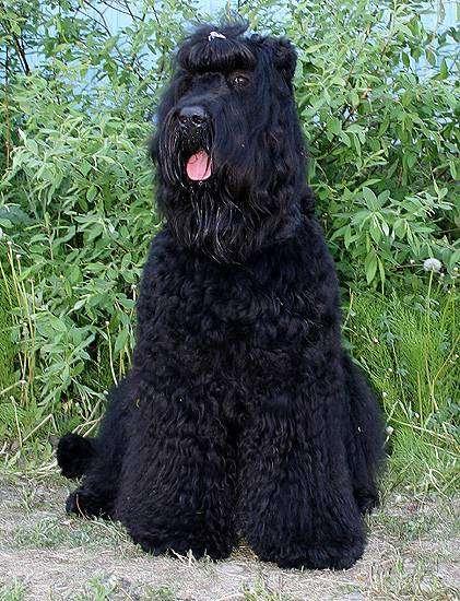 Черный терьер, фото породы собаки фотография картинка
