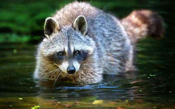 Енот-полоскун (Procyon lotor), фото хищные животные фотография картинка