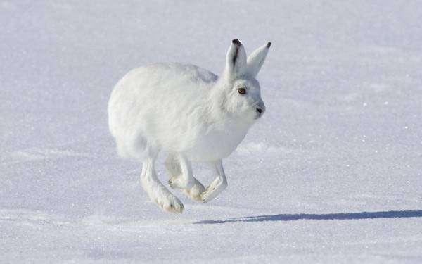 Заяц беляк (Lepus timidus), фото дикие животные фотография картинка